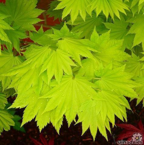 Acer Shirasawanum 39 Aureum 39 Acheter Acheter Des Plantes