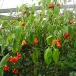 Capsicum baccatum. Bishop's Crown -