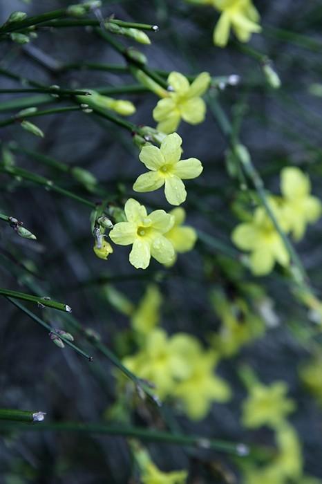 winter jasmin jasminum nudiflorum pflanzen kaufen online. Black Bedroom Furniture Sets. Home Design Ideas