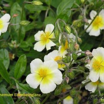 helianthemum 39 elfenbeinglanz 39 plantes vivaces acheter. Black Bedroom Furniture Sets. Home Design Ideas