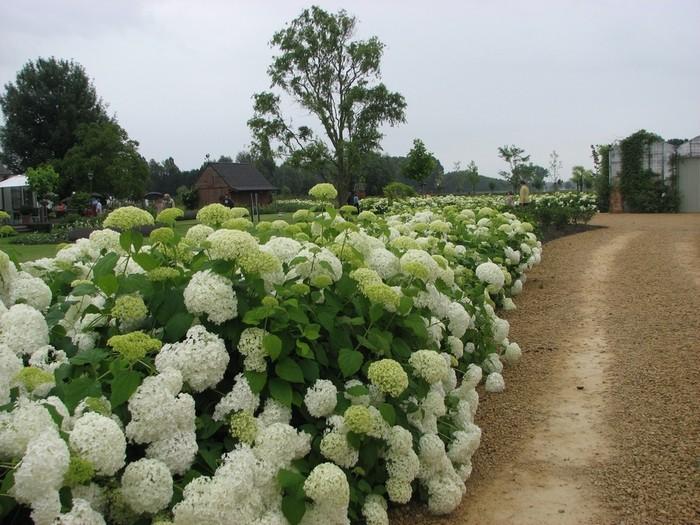 Hydrangea arborescens 39 annabelle 39 acheter acheter des for Acheter des plantes