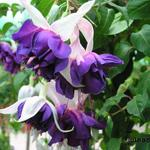 Fuchsia 'Deep Purple' -