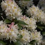 Rhododendron 'Cunningham's White' -