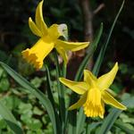 Narcissus 'February Gold' -
