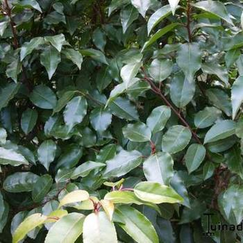 Prunus lusitanica 39 angustifolia 39 acheter acheter des for Acheter des plantes sur internet
