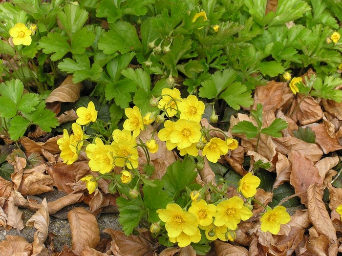 Waldsteinia ternata acheter acheter des plantes en ligne for Acheter plantes sur internet
