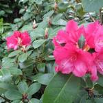 Rhododendron 'Anna Rose Whitney' -