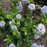 Ceanothus repens 'Blue Mound'