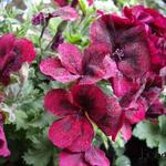 Pelargonium 'Bright Red' -