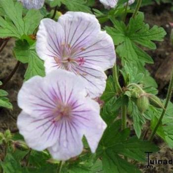 geranium himalayense 39 derrick cook 39 plantes vivaces acheter des plantes en ligne. Black Bedroom Furniture Sets. Home Design Ideas