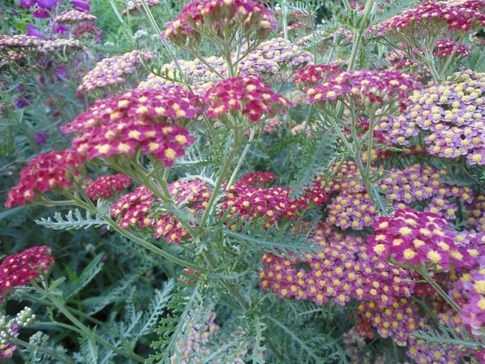achillea millefolium 39 paprika 39 acheter des plantes en ligne. Black Bedroom Furniture Sets. Home Design Ideas