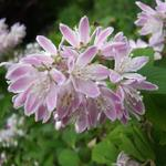Deutzia x hybrida 'Strawberry Fields' -