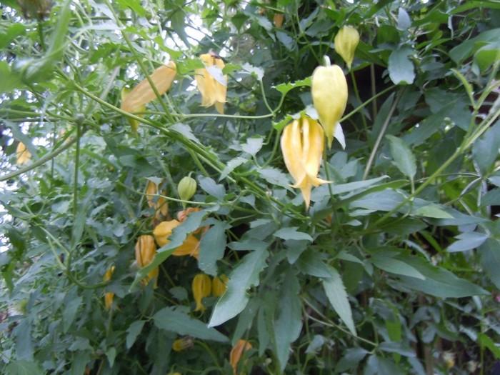 clematis tangutica buissons acheter des plantes en. Black Bedroom Furniture Sets. Home Design Ideas