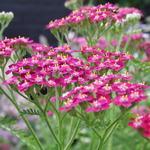 Achillea millefolium 'Cerise Queen' - Achillea millefolium 'Cerise Queen'