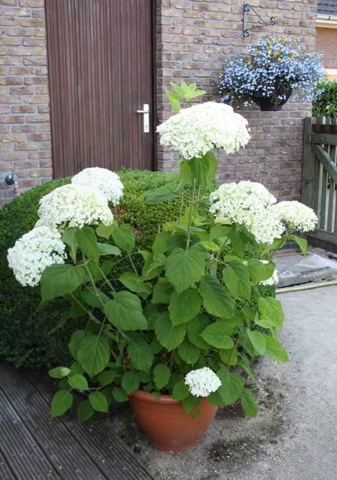 hydrangea arborescens 39 incrediball 39 acheter des plantes. Black Bedroom Furniture Sets. Home Design Ideas