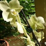 Phalaenopsis 'Yellow Butterfly' -