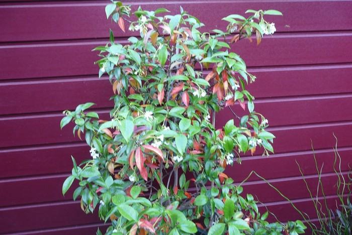 jasminum polyanthum duft jasmin stauden pflanzen kaufen online. Black Bedroom Furniture Sets. Home Design Ideas