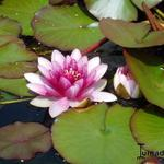 Nymphaea 'Attraction' -