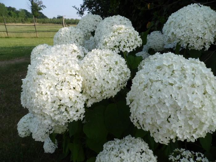 hydrangea arborescens 39 annabelle 39 acheter des plantes en. Black Bedroom Furniture Sets. Home Design Ideas