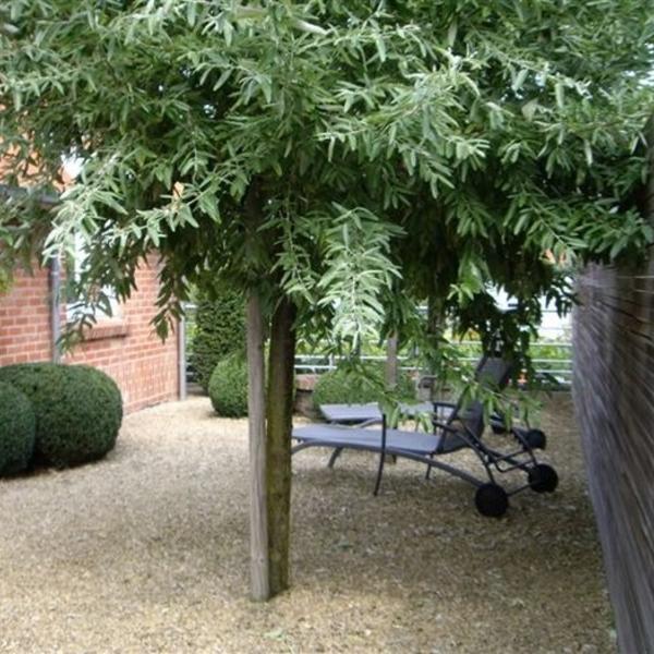elaeagnus angustifolia olivier de boh me chalef. Black Bedroom Furniture Sets. Home Design Ideas