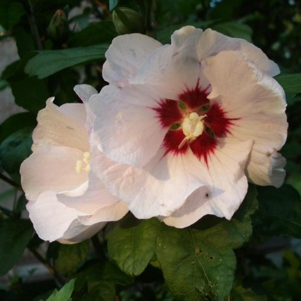 Hibiscus Syriacus Red Heart Buissons Acheter Des Plantes En