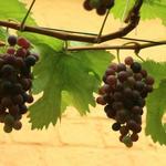 Vitis vinifera 'Frankenthaler' - Vitis vinifera 'Frankenthaler'