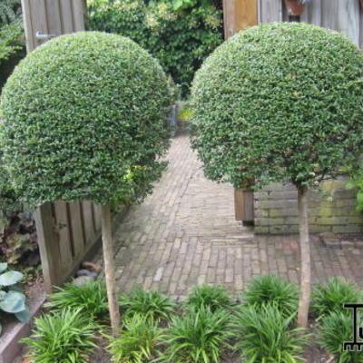 ligustrum delavayanum acheter des plantes en ligne. Black Bedroom Furniture Sets. Home Design Ideas
