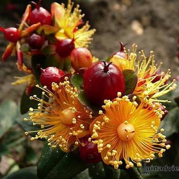 hypericum x hidcoteense 39 hidcote 39 haies acheter des plantes en ligne. Black Bedroom Furniture Sets. Home Design Ideas
