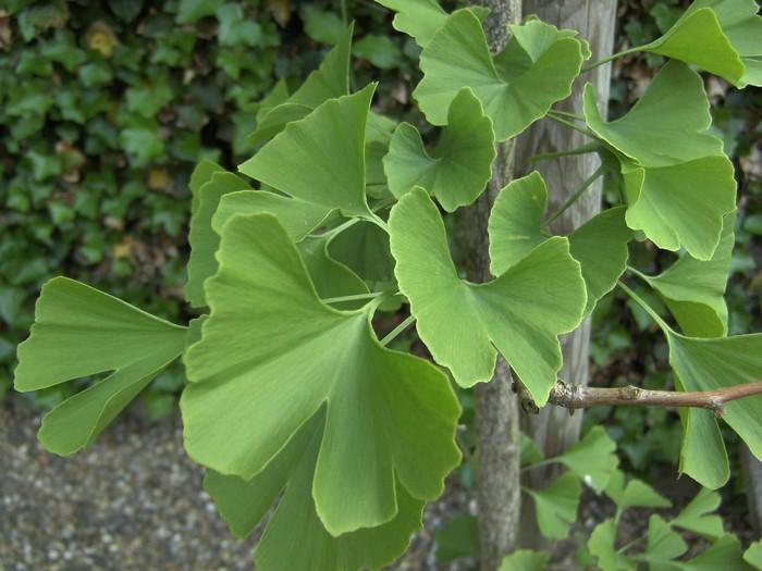 ginkgo biloba ginkgo nadelbaum konifere pflanzen kaufen online. Black Bedroom Furniture Sets. Home Design Ideas