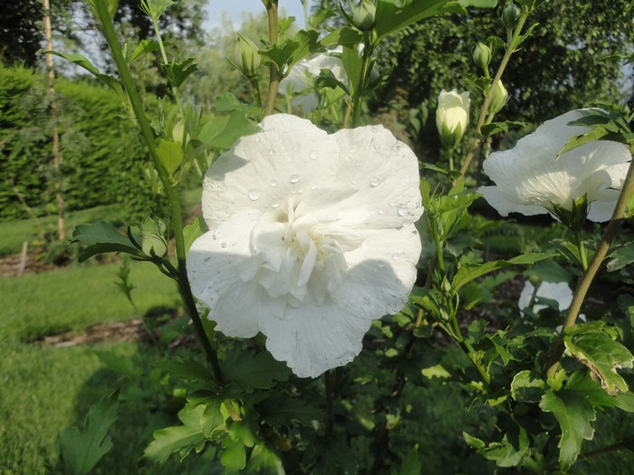 hibiscus syriacus 39 white chiffon 39 acheter des plantes en. Black Bedroom Furniture Sets. Home Design Ideas