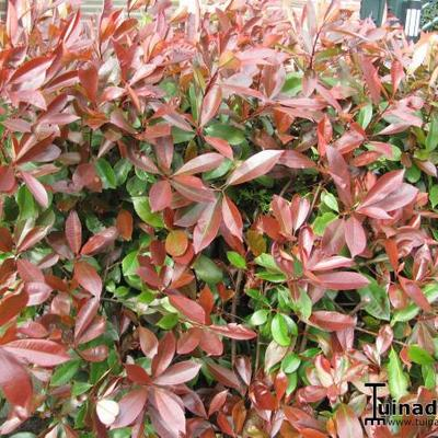 cultivars de photinia x fraseri 39 red robin 39. Black Bedroom Furniture Sets. Home Design Ideas