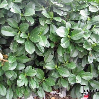 prunus laurocerasus 39 etna 39 acheter des plantes en ligne. Black Bedroom Furniture Sets. Home Design Ideas