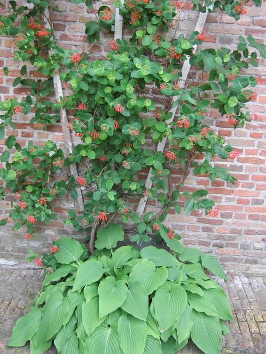 lonicera x brownii 39 dropmore scarlet 39 acheter des plantes en ligne. Black Bedroom Furniture Sets. Home Design Ideas