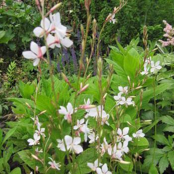 gaura lindheimeri 39 snowstorm 39 plantes vivaces acheter des plantes en ligne. Black Bedroom Furniture Sets. Home Design Ideas