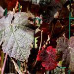 Vitis coignetiae - Rostrote Weinrebe - Vitis coignetiae