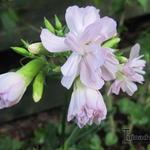 Gewöhnliches Seifenkraut - Saponaria officinalis 'Rosea Plena'