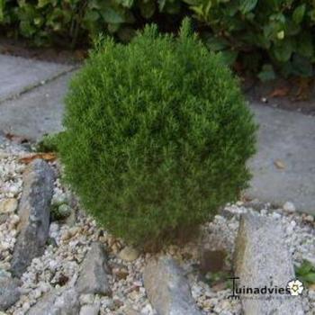 thuja occidentalis 39 teddy 39 nadelbaum konifere pflanzen kaufen online. Black Bedroom Furniture Sets. Home Design Ideas