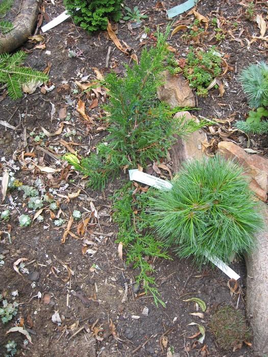 juniperus x pfitzeriana 39 mint julep 39 conif res acheter des plantes en ligne. Black Bedroom Furniture Sets. Home Design Ideas