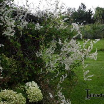fallopia baldschuanica renou e grimpante buissons acheter des plantes en ligne. Black Bedroom Furniture Sets. Home Design Ideas