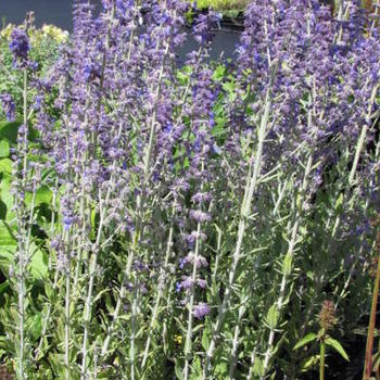 perovskia atriplicifolia 39 39 little spire 39 plantes vivaces. Black Bedroom Furniture Sets. Home Design Ideas