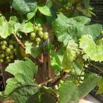 Vitis vinifera 'Muscat of Alexandria' - Vitis vinifera 'Muscat of Alexandria'