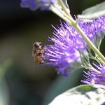 Caryopteris x clandonensis 'Kew Blue' - Caryopteris x clandonensis 'Kew Blue'