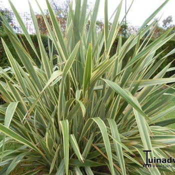 phormium 39 golden ray 39 plantes vivaces acheter des plantes en ligne. Black Bedroom Furniture Sets. Home Design Ideas