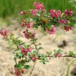 Escallonia 'Donard Seedling' - Escallonia 'Donard Seedling'