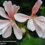 Pelargonium 'Honeywood Suzanne' -