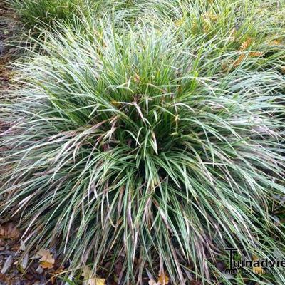 Kultivare von Carex foliosissima \'Irish Green\'