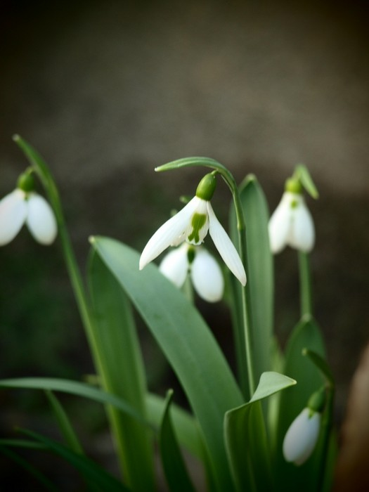 galanthus elwesii acheter acheter des plantes en ligne acheter en ligne sur. Black Bedroom Furniture Sets. Home Design Ideas