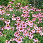 Echinacea purpurea 'Magnus' - Echinacea purpurea 'Magnus'