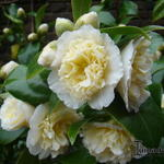 Camellia japonica 'Brushfield's Yellow' -