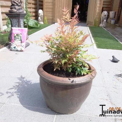nandina domestica 39 magical sunrise 39 acheter des plantes en ligne. Black Bedroom Furniture Sets. Home Design Ideas